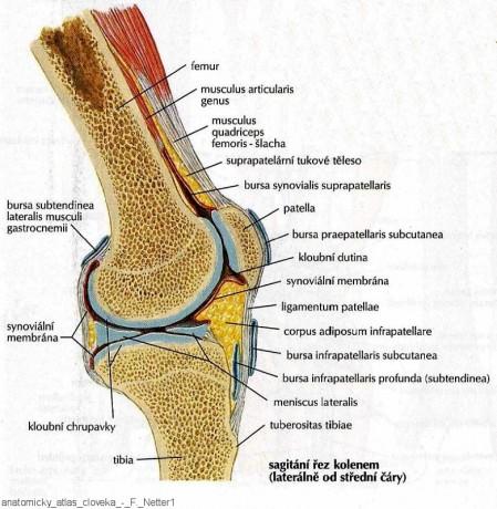 bursa infrapatellaris anatomie